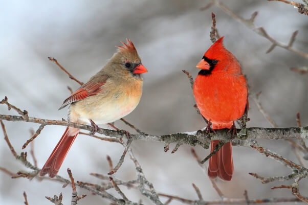 Cardinals-in-Snow-602x401