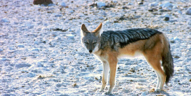 coyote-snow-freeimages-637x320