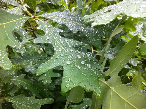 Oak Leaves After Rain copy
