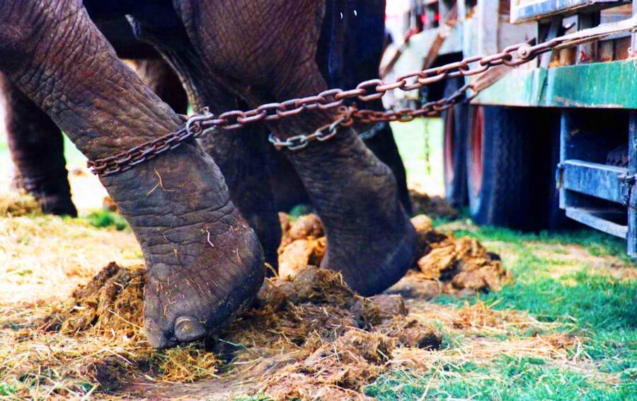elephant-chains