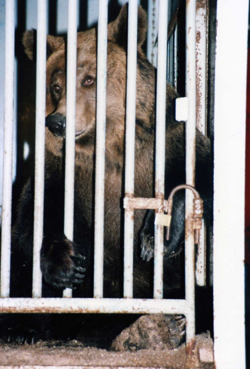 bear-in-cage-circus-830x1222