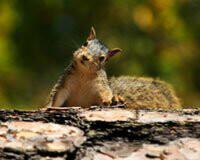 200_2D00_IssuesWildlifeLivingSquirrel