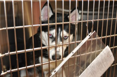 husky-in-cage-400x265