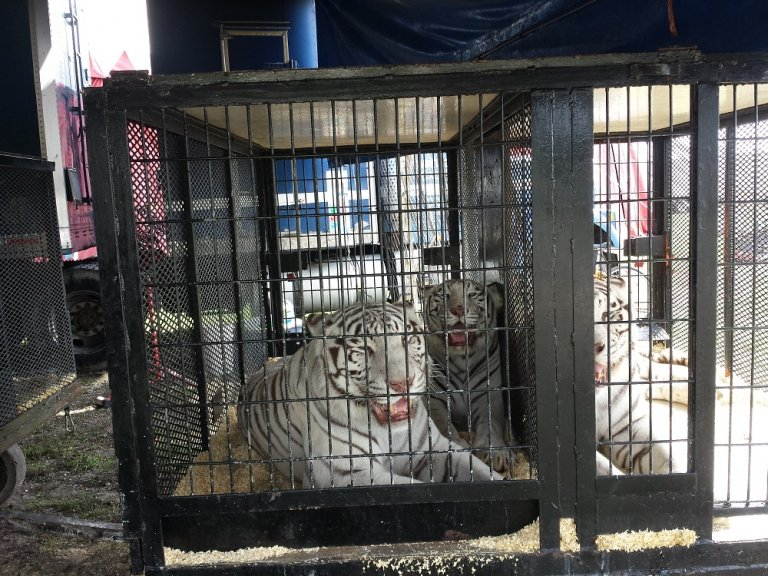 tigers-panting-in-travel-crates_163654-768x576