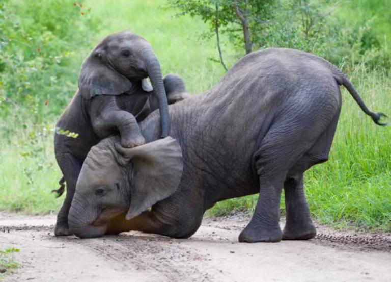 iStock_elephant_playtime_pjmalsbury__1423265253_144.223.39.42-768x553-1566345684