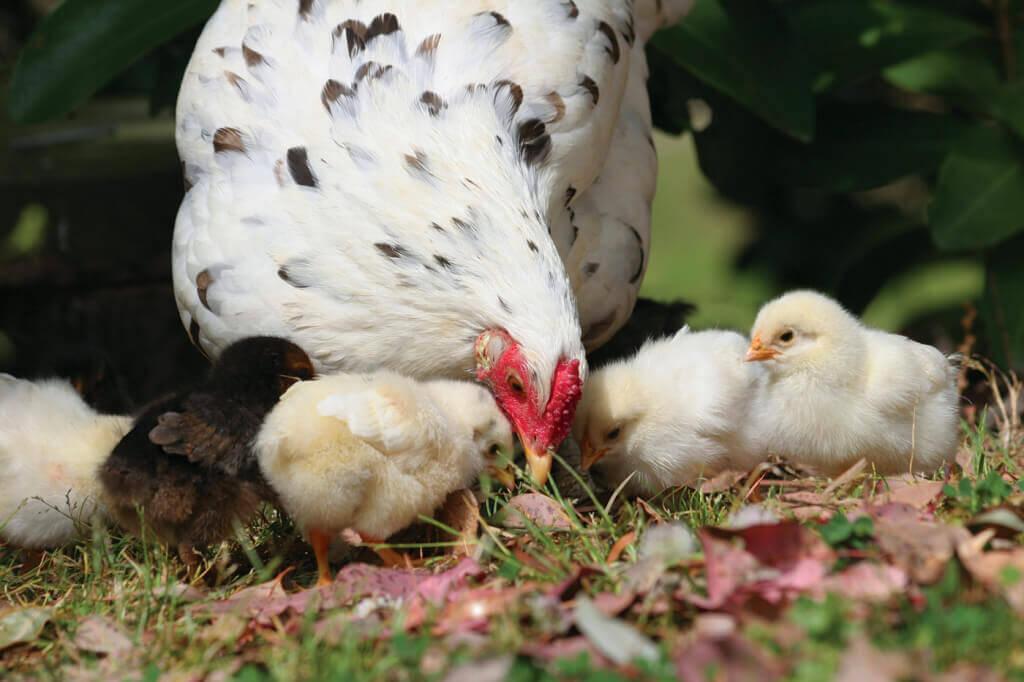 chicken8-1024x682
