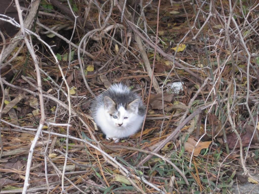 Feral-Kitten-in-Hay-1024x768