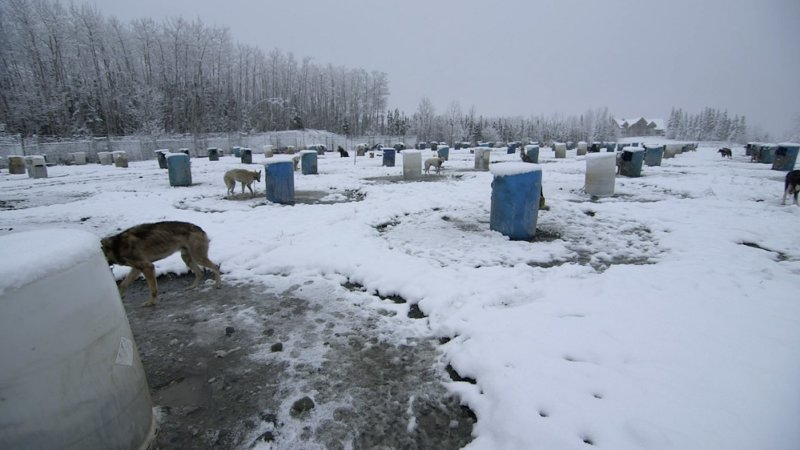 Mitch-Seavey-chained-dogs-in-snow-2-800x450