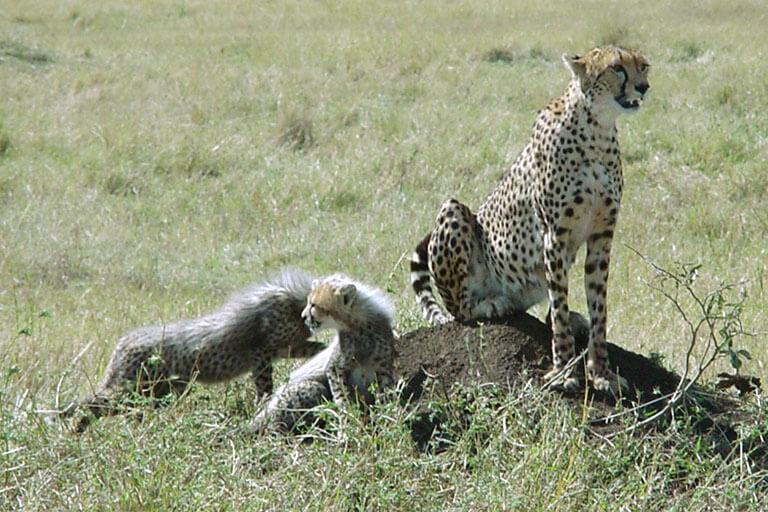 Cheetah_and_little_cheetahs