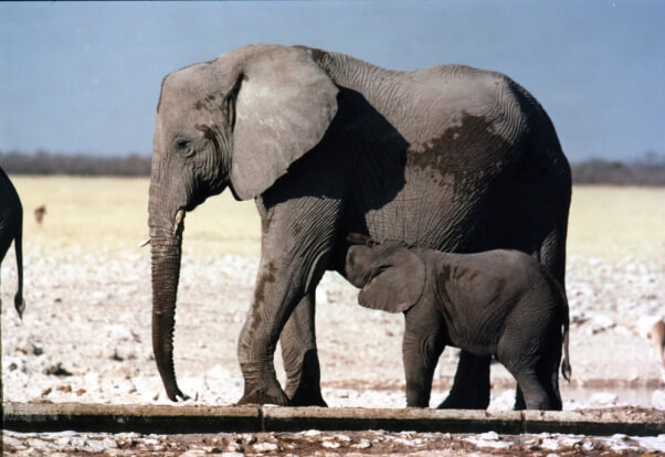 Mother-and-Baby-Elephant-602x414